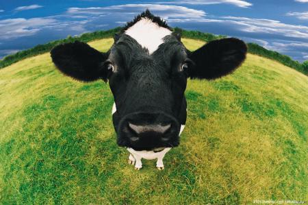 Почему коровье мясо называют «говядиной»?
