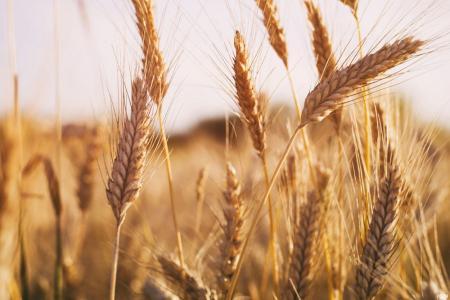 Всемирный банк предсказал катастрофическую нехватку пшеницы и риса